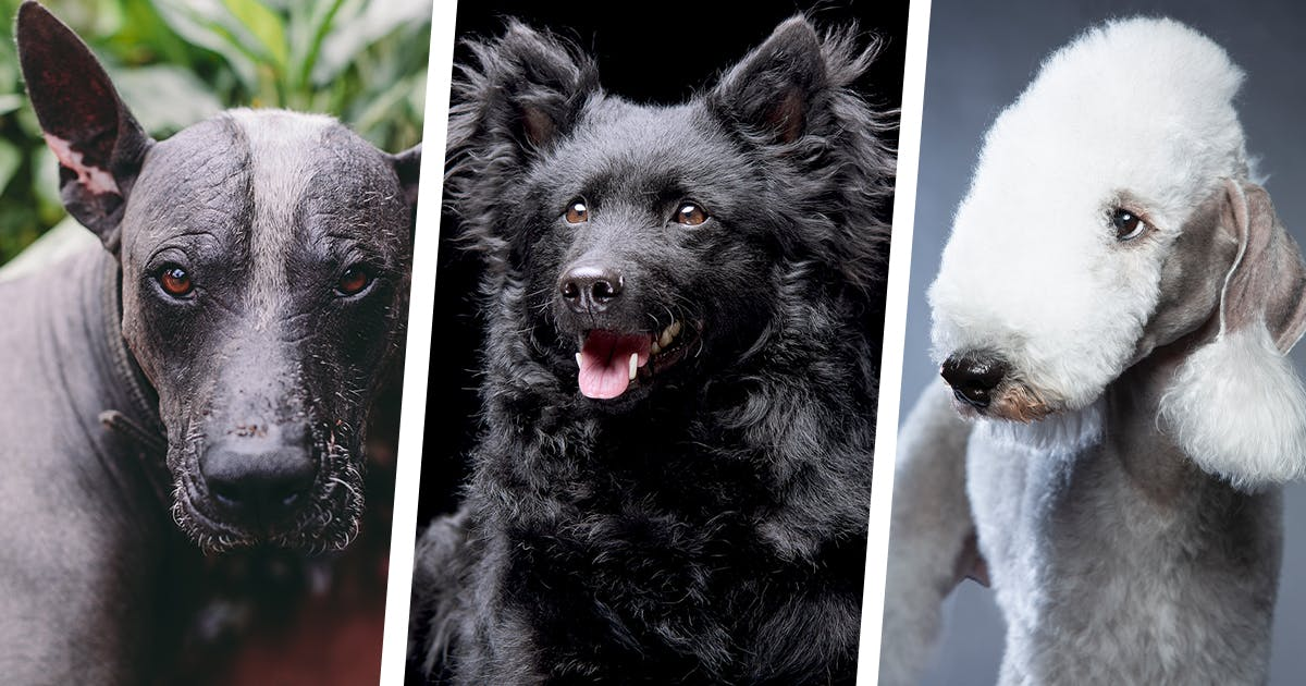 24 Rare Dog Breeds You've Never Heard of Before