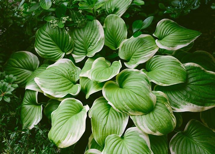 shade loving plants hosta