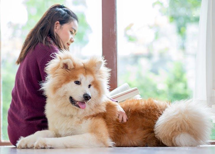 Fluffy Dog Breeds akita