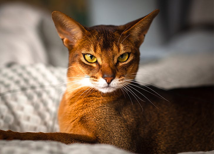 Most affectionate cat breeds Abyssinian