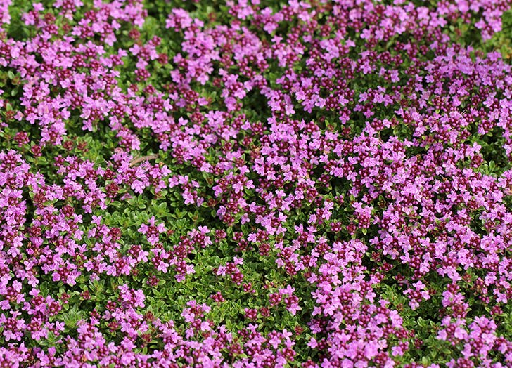 Best Groundcovers Creeping Thyme