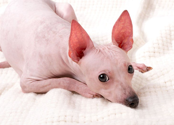 Best Indoor Dogs for Homebodies American Hairless Terrier
