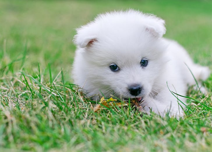 Best dogs for apartments American Eskimo