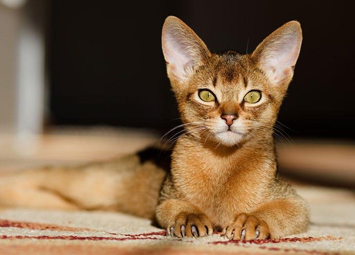 friendliest cat breeds abyssinian