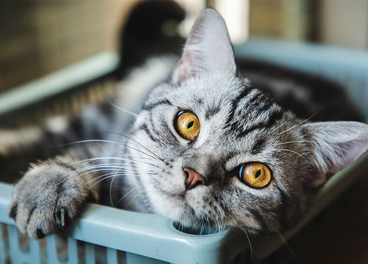 friendliest cat breeds american shorthair