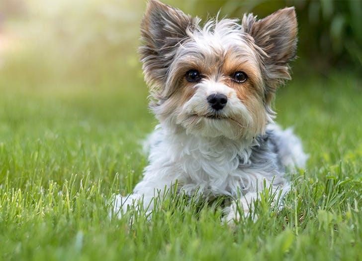 Biewer Terrier westminster