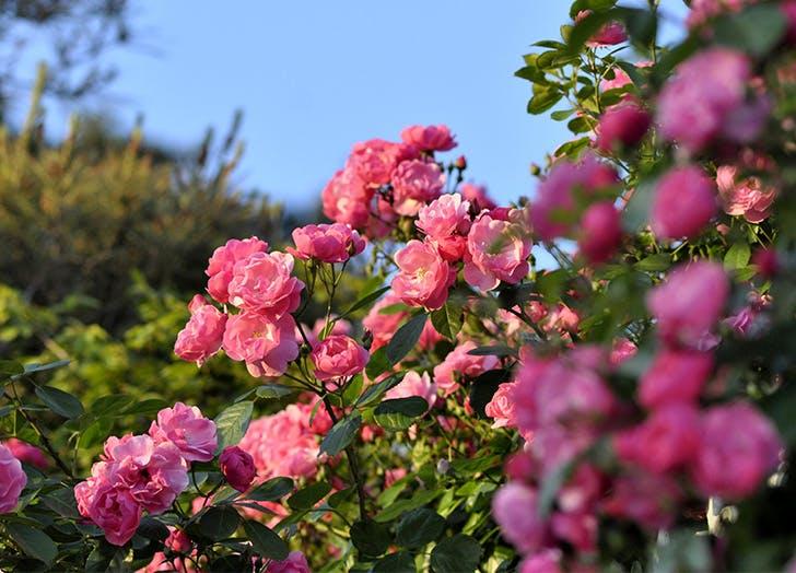 Romantic flowers for your garden rose