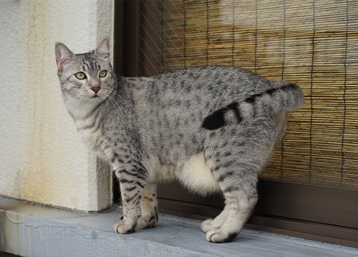 best cat breeds based on zodiac signs egyptian mau