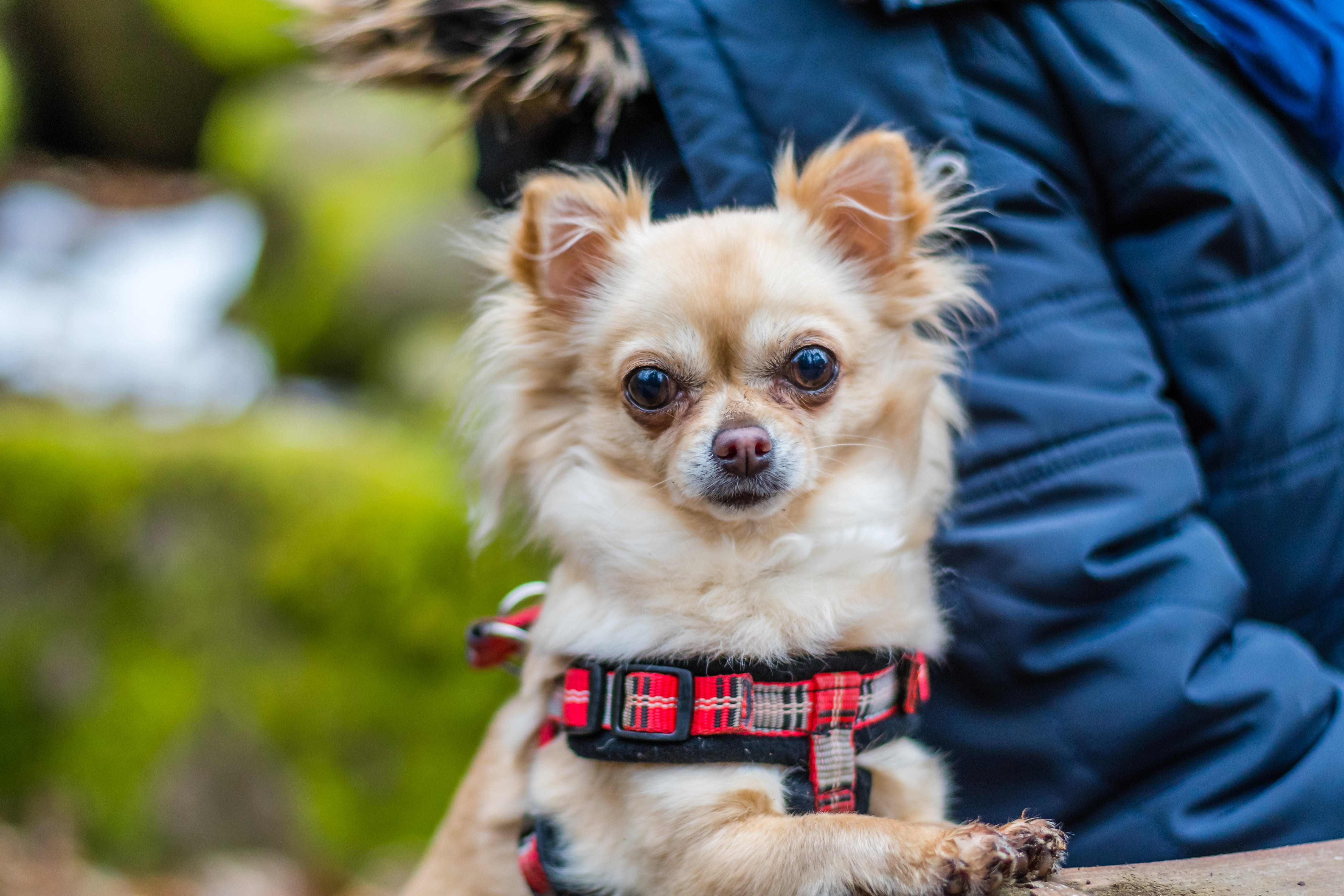 best dogs for people with anxiety chihuahua