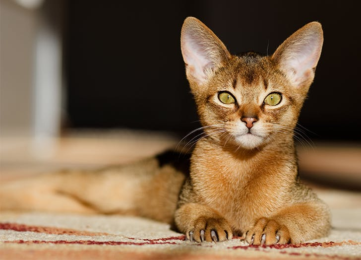 Best cats for kids Abyssinian