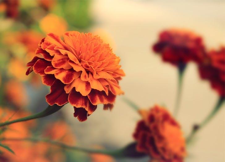 Easiest Flowers to Grow Marigold