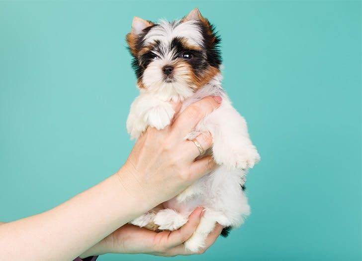 Smallest Dog Breeds Biewer Terrier