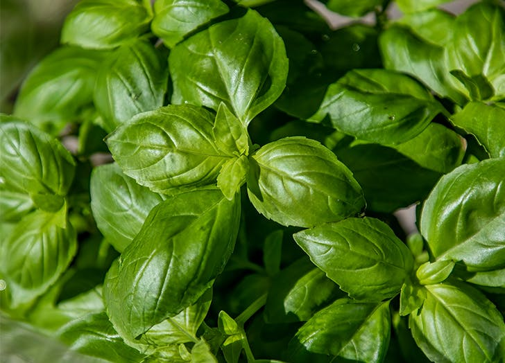 What to plant with tomatoes Basil