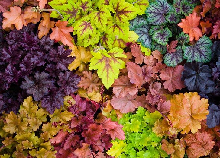 Best Plants with Pretty Foliage Heuchera