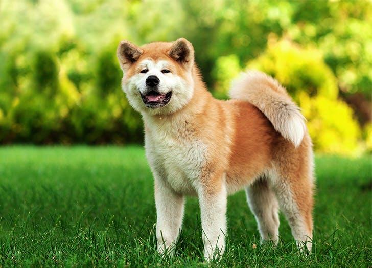 Big Dog Breeds Akita