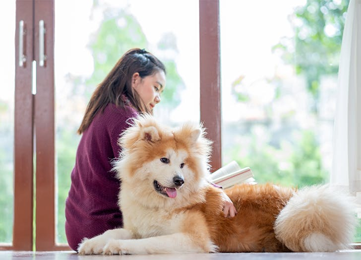 Dogs that Shed the Most Akita