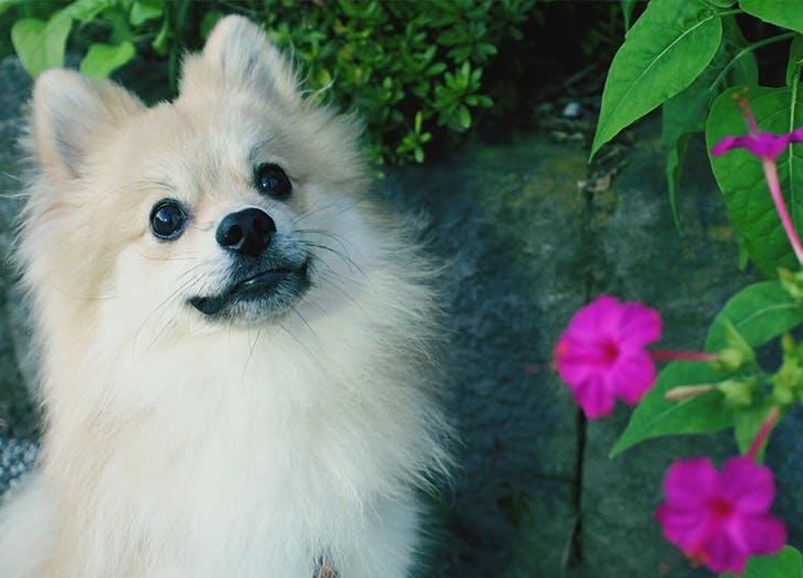 Japanese Dog Breeds Japanese Spitz