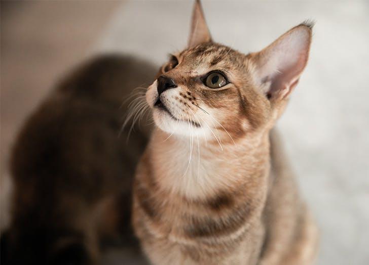 Ras Kucing Besar CHAUSIE