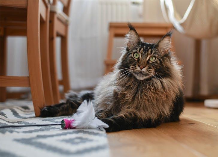 Jenis Kucing Besar MAINE COON