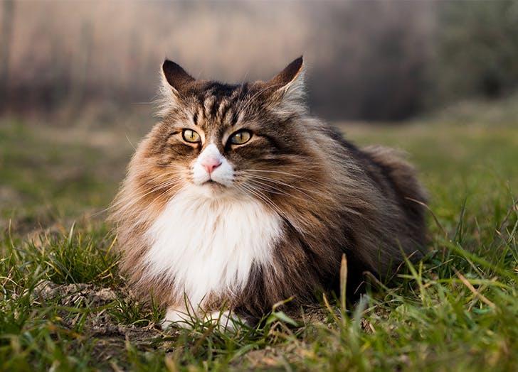 Ras Kucing Besar HUTAN NORWEGIA
