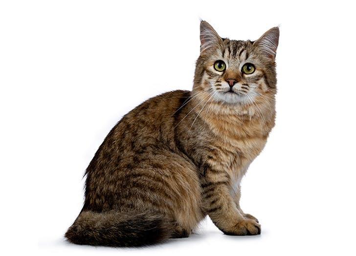 Ras Kucing Besar PIXIEBOB