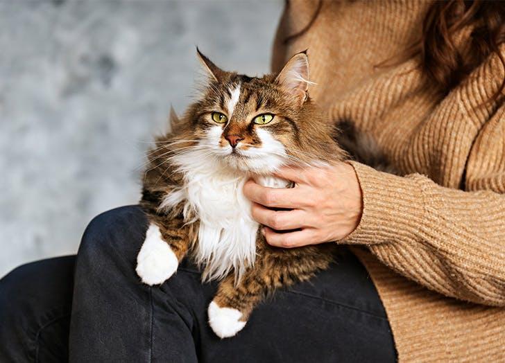 Ras Kucing Besar RAGMUFFIN
