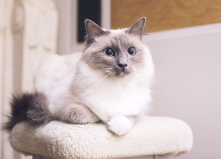 Trah Kucing Besar RAGDOLL