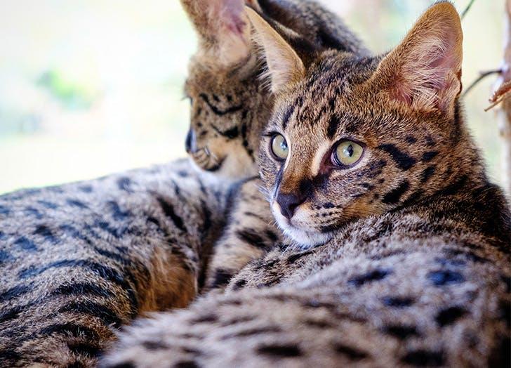 Ras Kucing Besar SAVANNAH