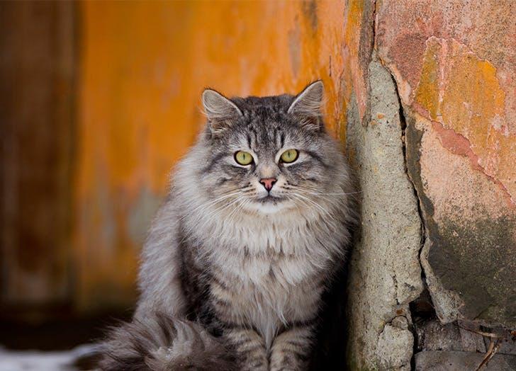 Trah Kucing Besar SIBERIAN