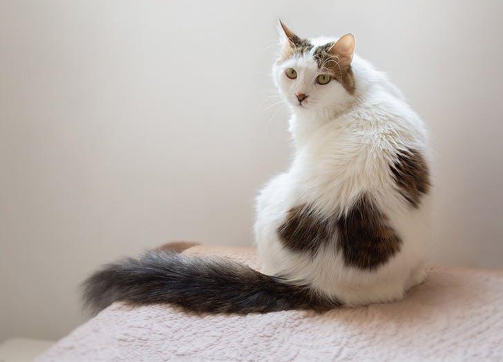 Trah Kucing Besar TURKISH VAN