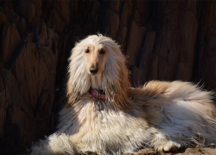 Stubborn Dogs Afghan Hound