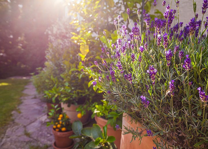 What to Plant with Lavender companion planting