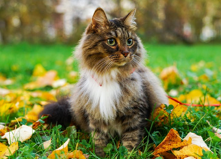 most popular cat breeds in us Maine Coon