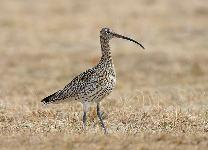 Prince Charles's Latest Outing Involved Freeing Threatened Curlew