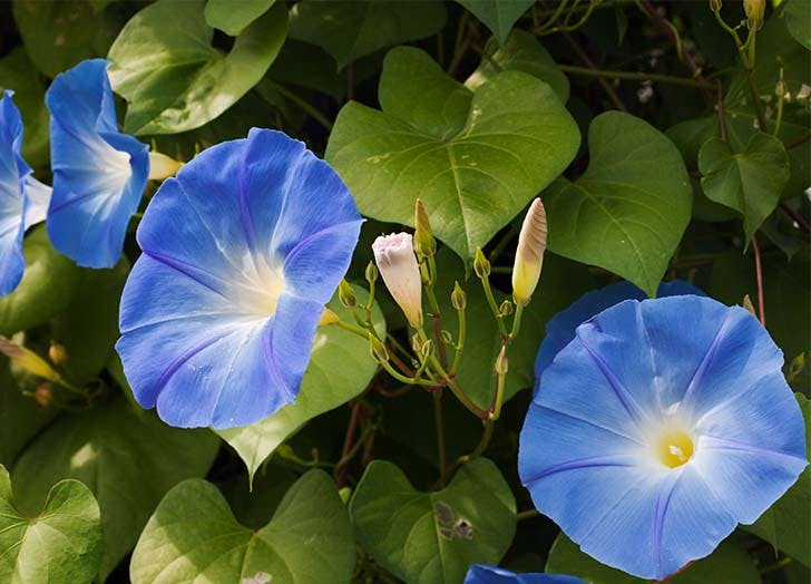 Best Climbing Plants for Your Garden Morning Glory
