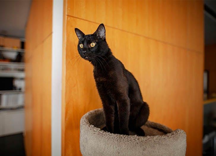Black Cat Breeds Bombay