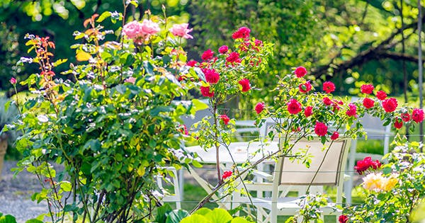 How to Grow Roses (Even if You Can't Keep a Succulent Alive)