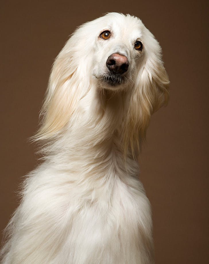 dog breeds that act like cats afghan hound