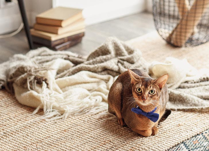 Cats That Act Like Dogs ABYSSINIAN
