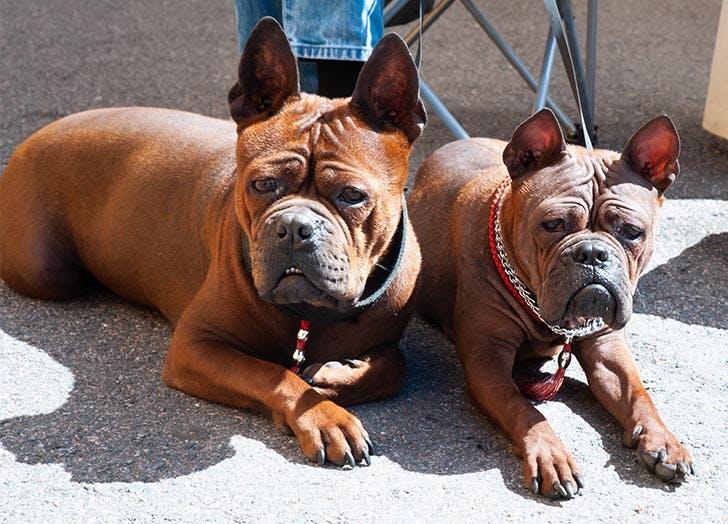 Chinese Dog Breeds Chinese Chongqing
