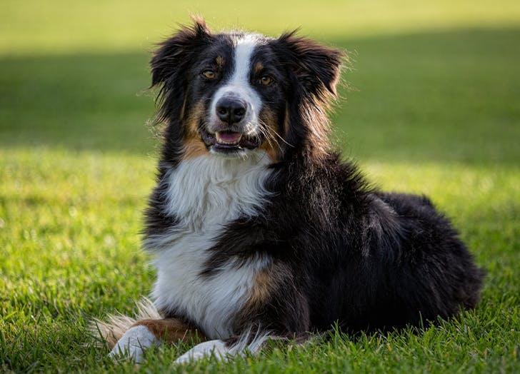 millennial dog breeds Australian shepherds