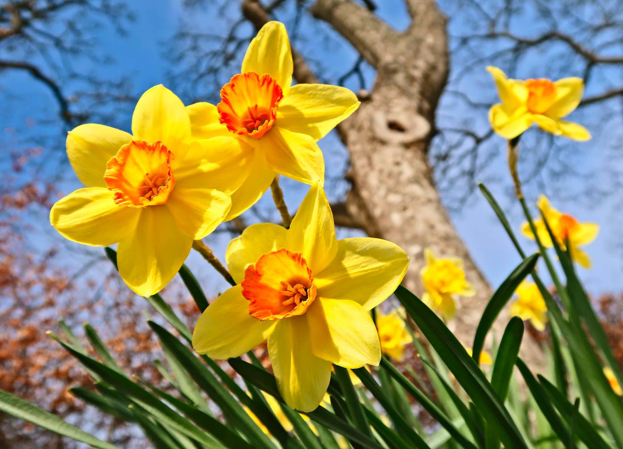 spring bulbs 1 daffodils2