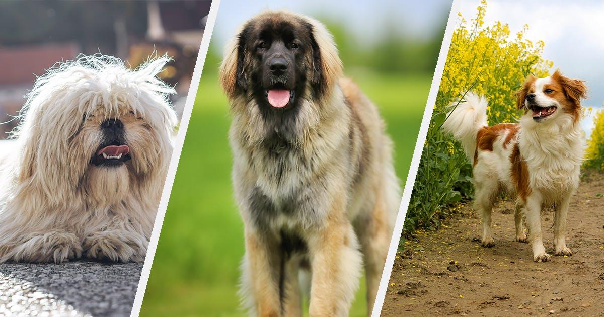 25 German Dog Breeds