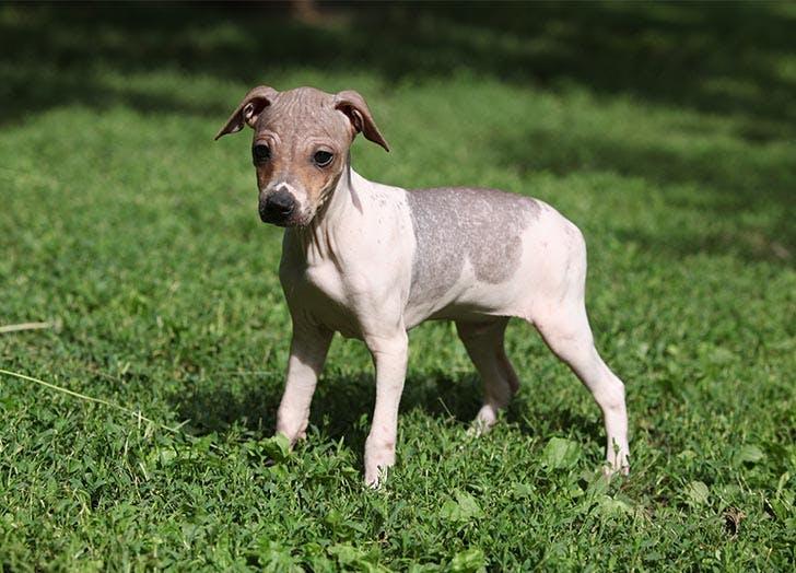 Longest Living Dog Breeds American Hairless Terrier